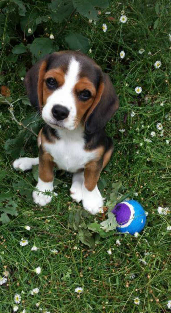 beagleier dog crossbreed