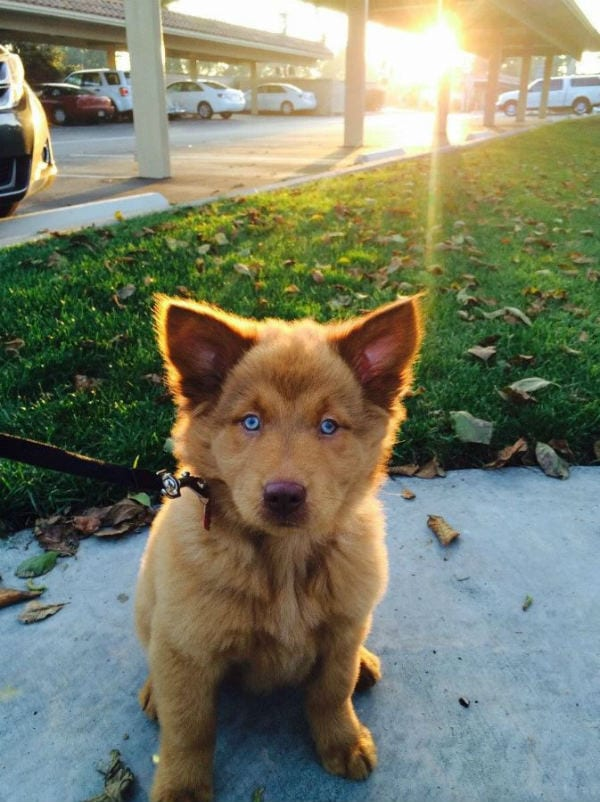 chusky dog crossbreed