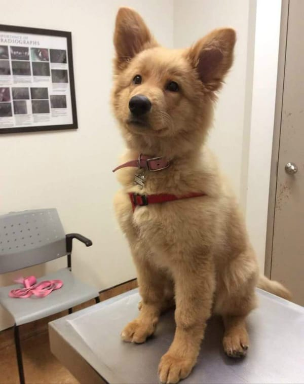 golden shepherd dog crossbreed