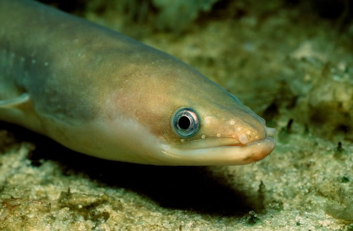 old animals european eel eels fish