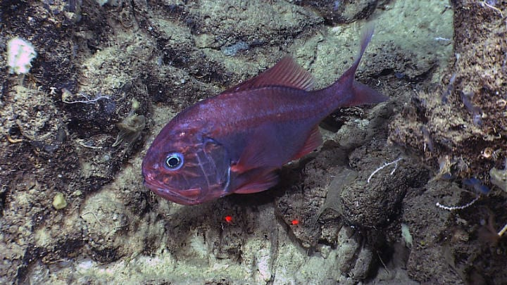 orange roughy atlantic fish oldest animals