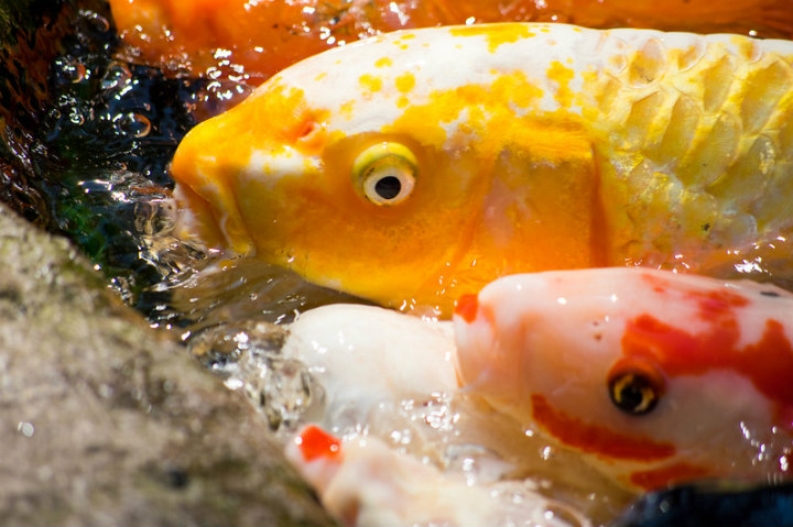 koi carp fish oldest animals