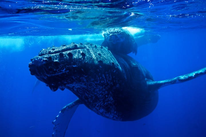 humpback whale old animals mammal