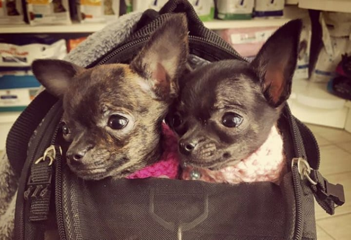 twin small dogs