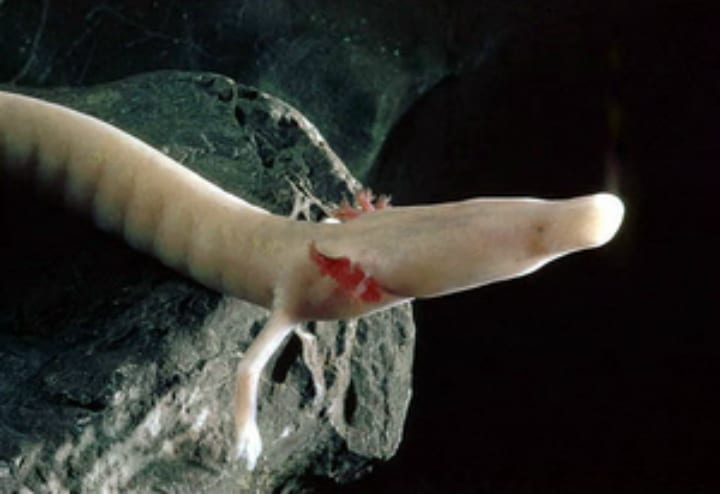 olm salamander oldest animals