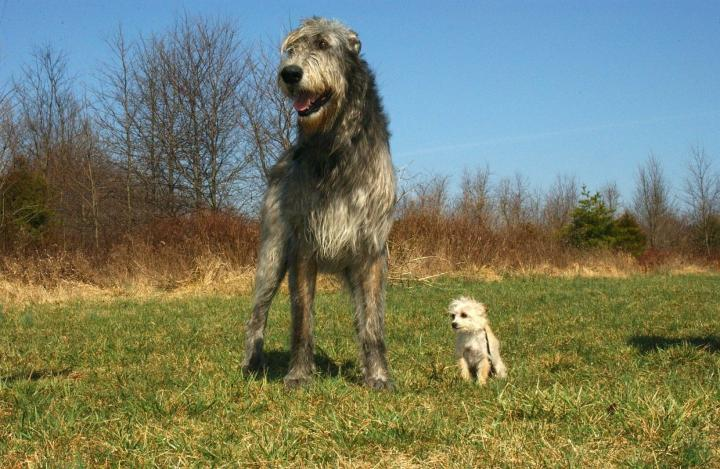 Wolfhounds