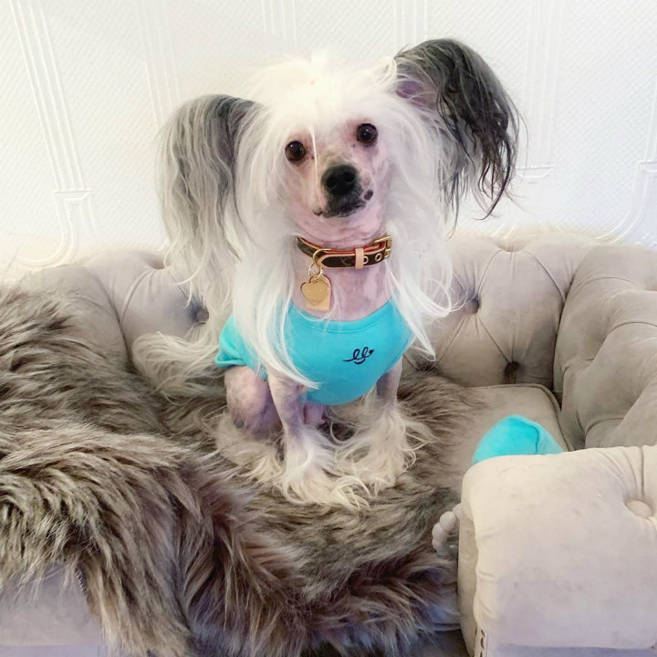 Chinese Crested longest living breeds