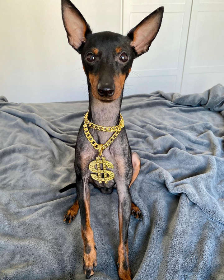 Toy Manchester Terrier longest living breed