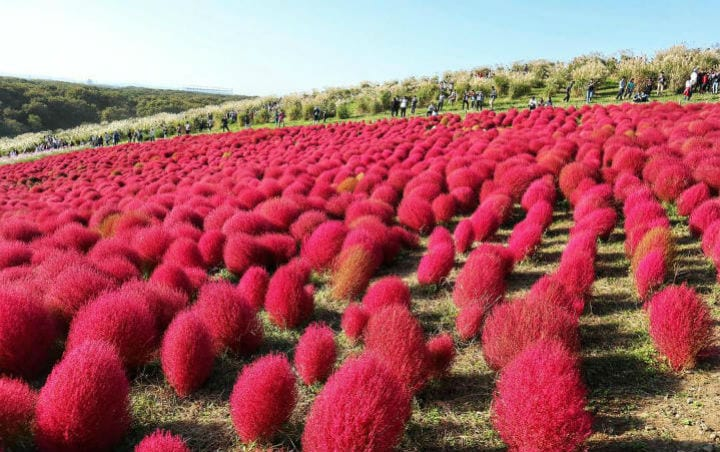 Hitachi Seaside Park Japan colorful places