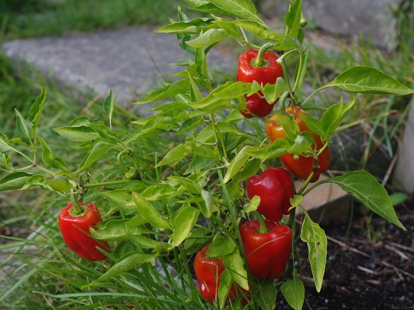 DIY Gardening grow own bell peppers from scraps