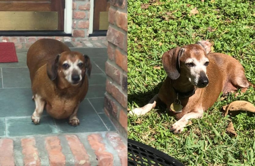 Vinnie dog weight loss