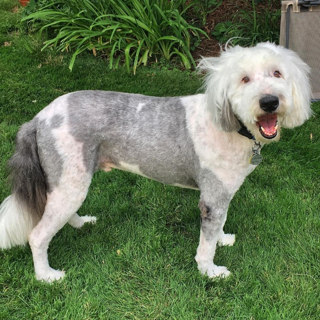Shaved Sheepdog
