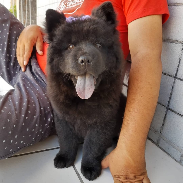 pet myths chow chow