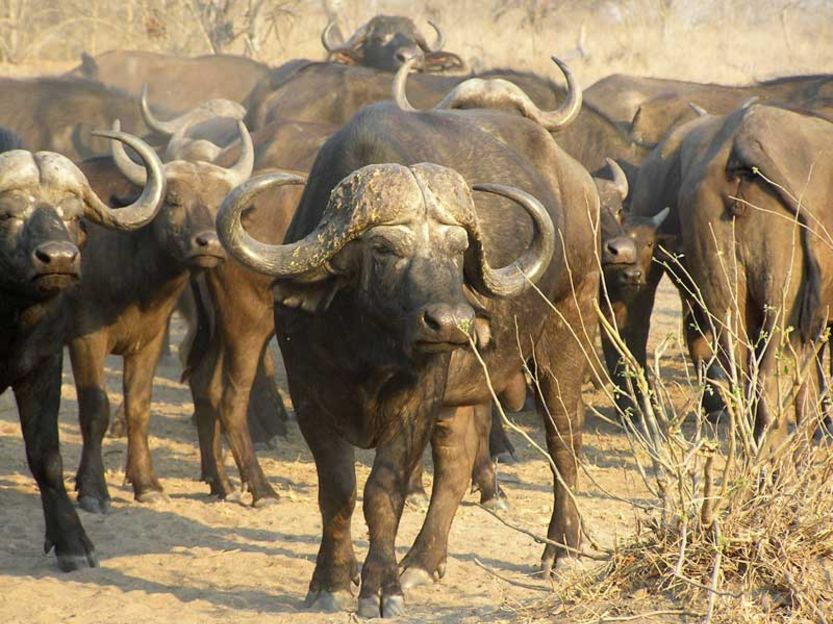 dangerous animals Buffalo attack