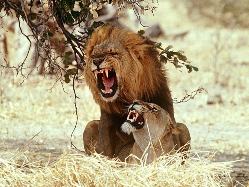 dangerous animals Lion attacks