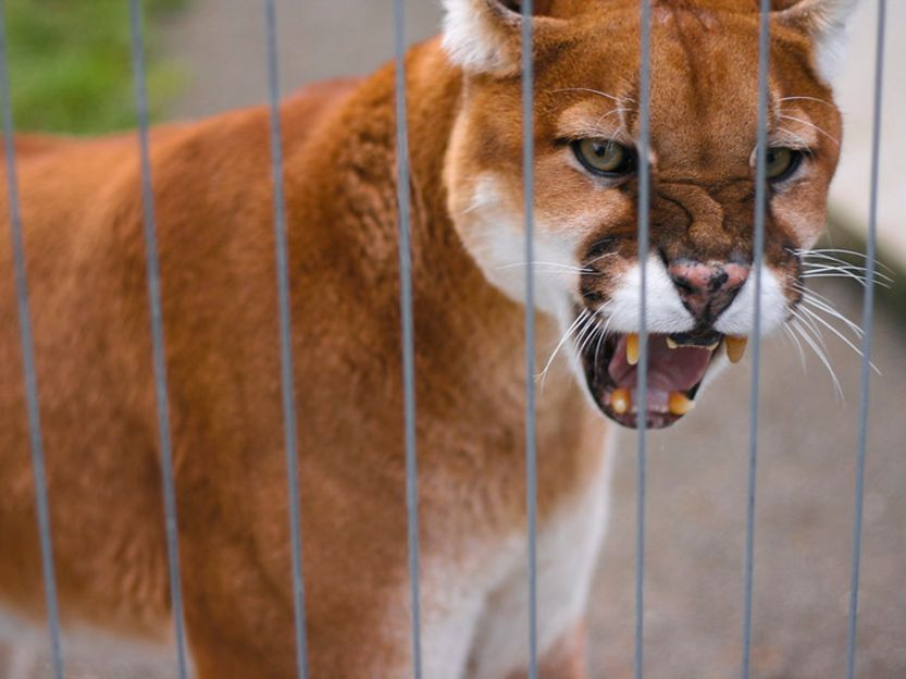 dangerous animals Mountain Lion attack